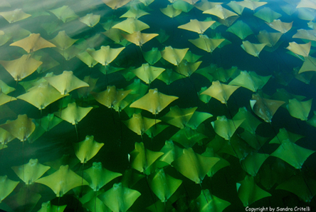01-Cownose Rays migration, Gulf of Mexico